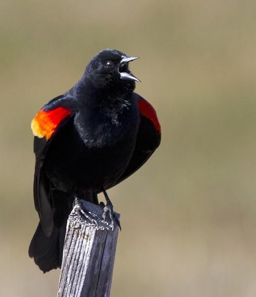 blackbird0014