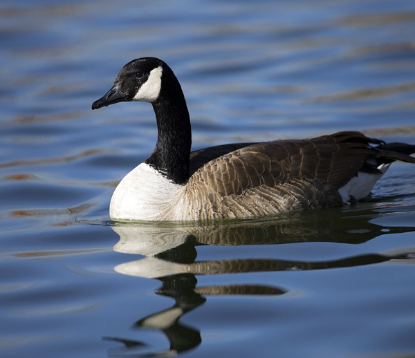 geese0001