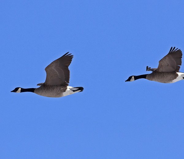 geese0005