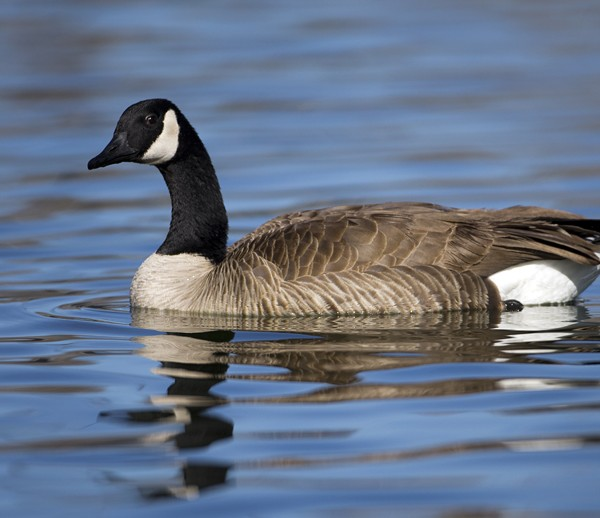geese0006