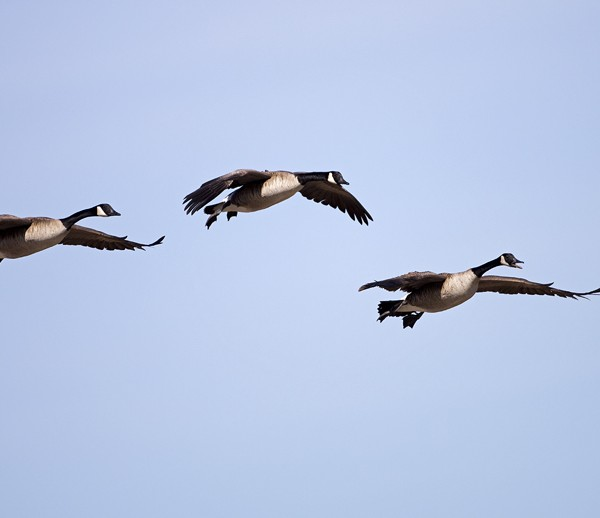 geese0007