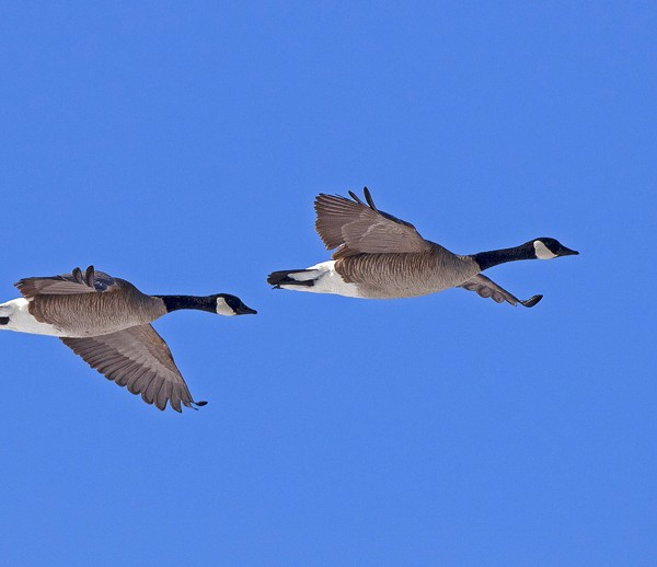 geese0017
