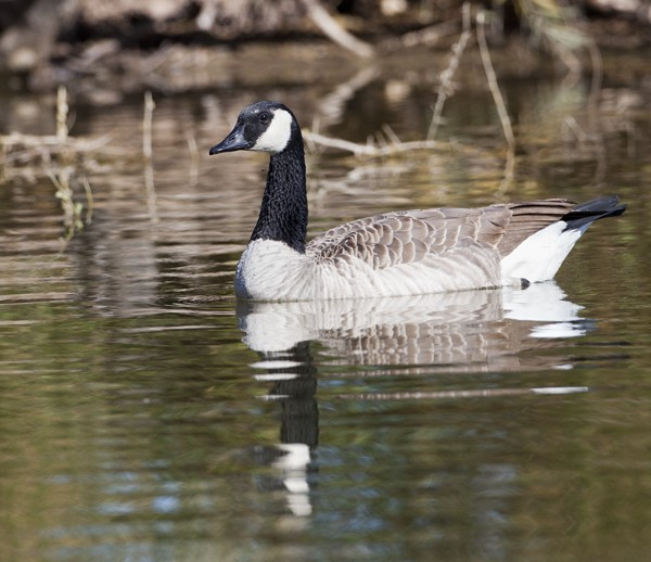 geese0021
