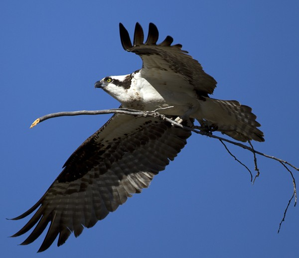 osprey0002