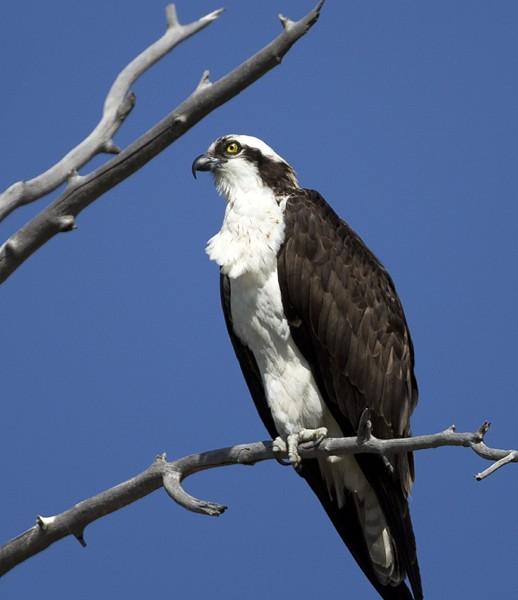 osprey0018