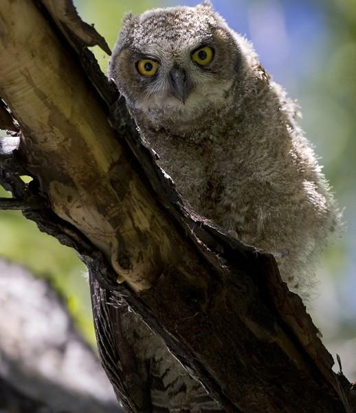 owl0008