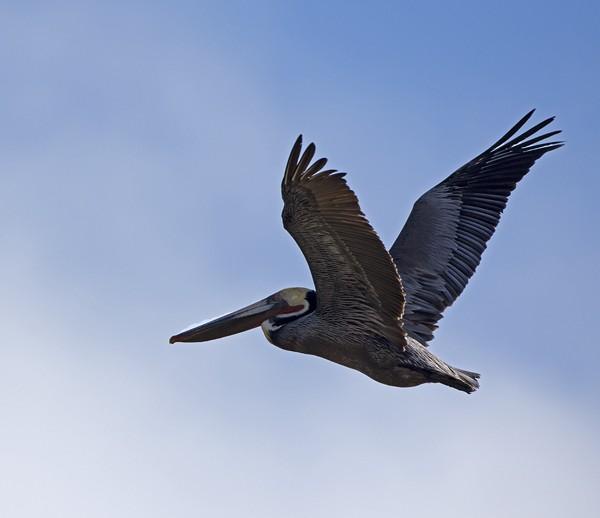 pelican0003