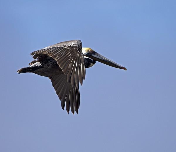 pelican0005