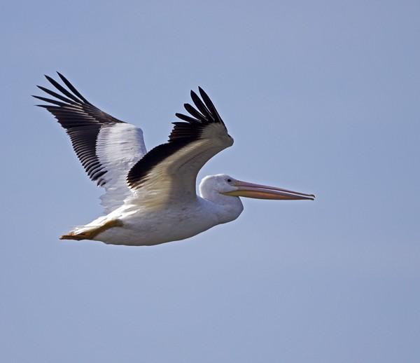 pelican0007