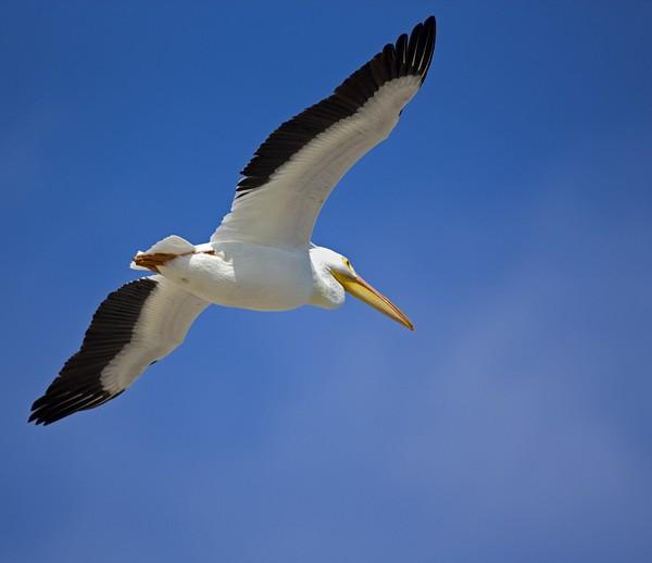 pelican0009