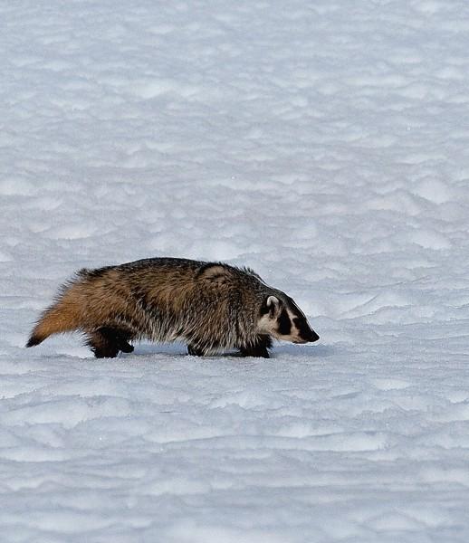 badger0005