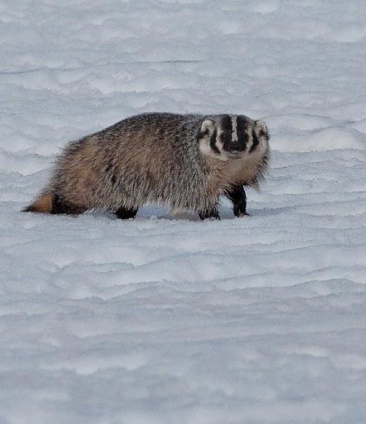 badger0008