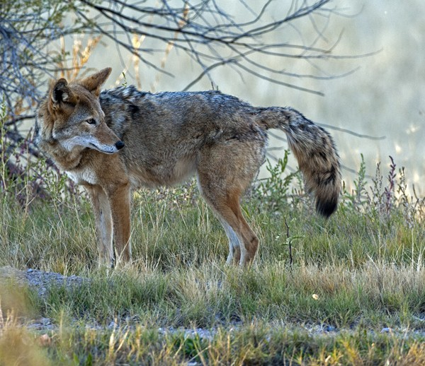 coyote0002