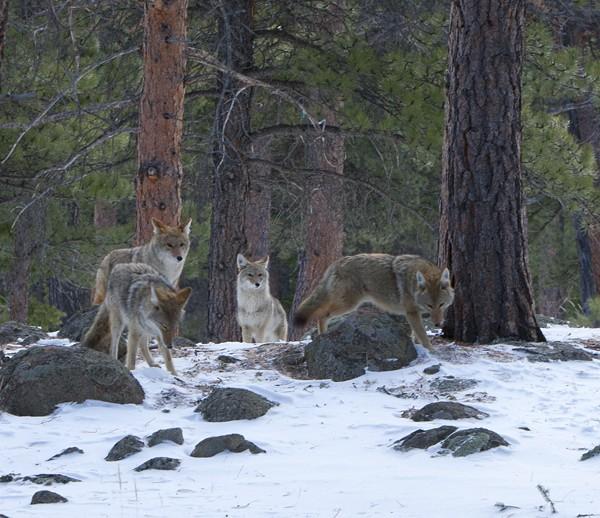 coyote0003