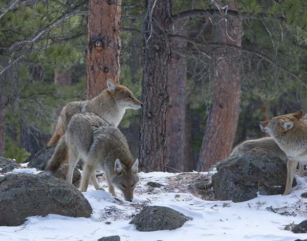 coyote0004
