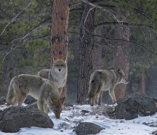 coyote0006