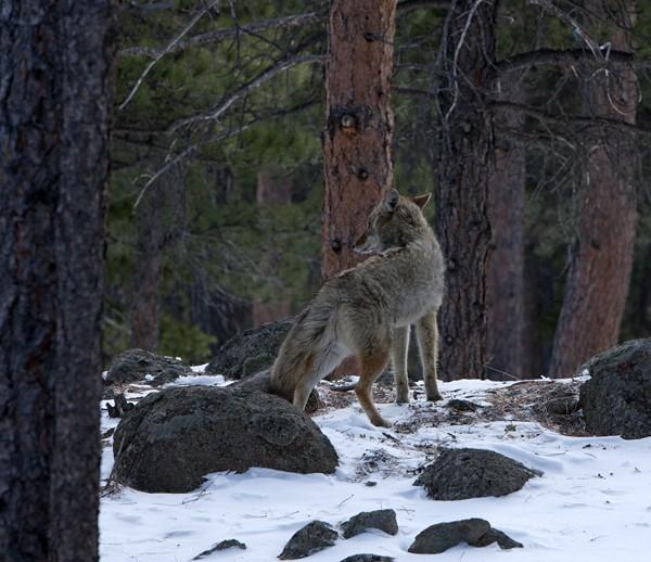 coyote0009