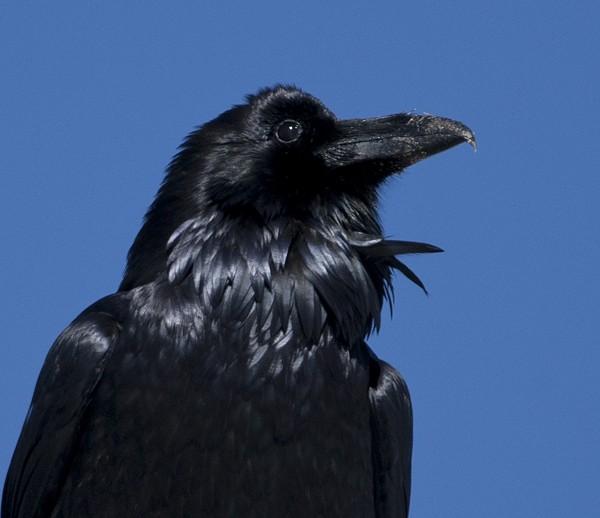 crowraven0009
