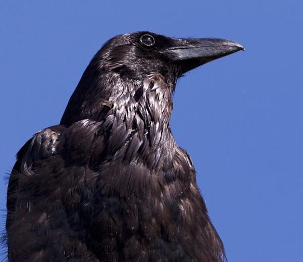 crowraven0018