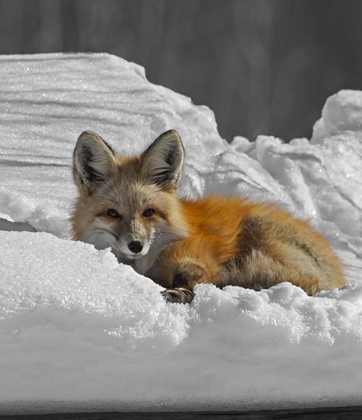 fox0011