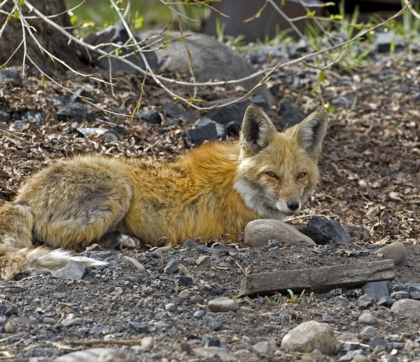 fox0013