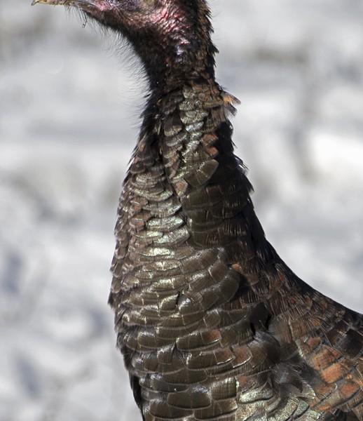 turkey0005