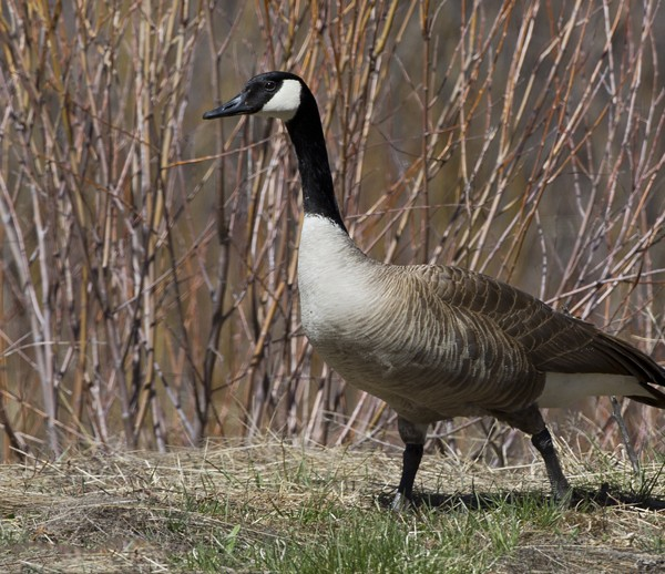 geese0023