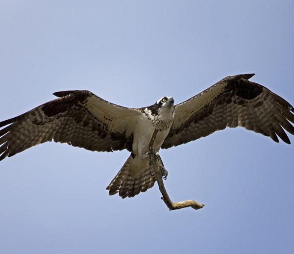 osprey0025